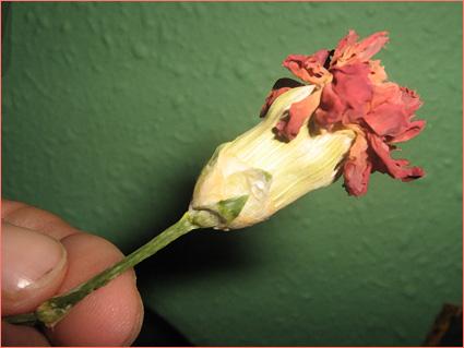 flor marchita